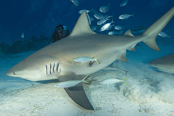 Bull Shark 014