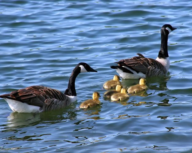 Canada-geese-with-chicks