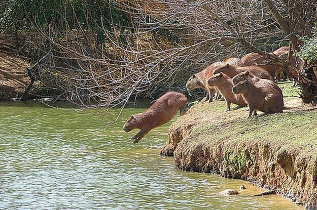 capybara group