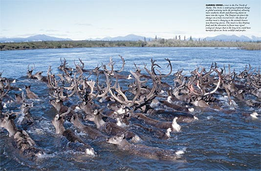 caribou herd crossing river