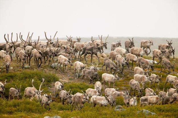 caribou herds in canada