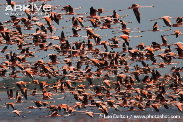 carribean flamingo flock in flight1