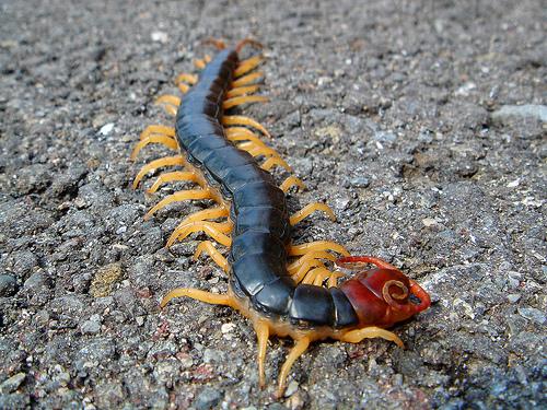 centipedew
