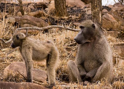 chacma baboon1
