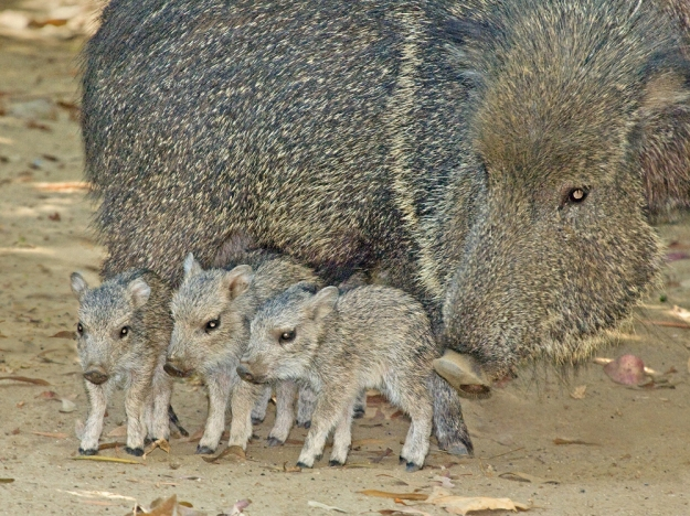 chacoan-peccary-with-piglets-jamie-pham1
