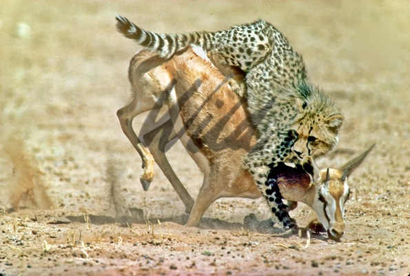Cheetahs hunting gazelle