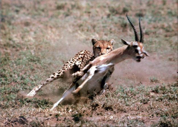 cheetah-hunting Thomson's gazelle