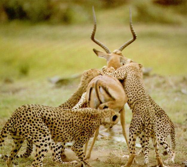 cheetah pack hunting gazelle