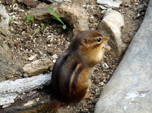 chipmunk wild