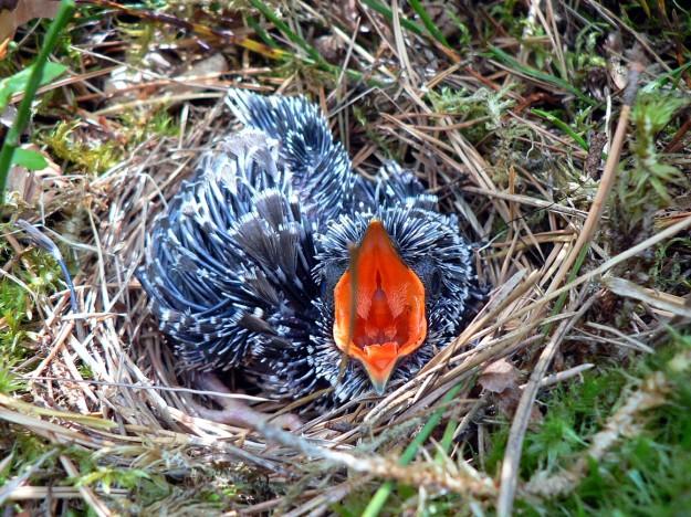 cuckoo bird chick in nest