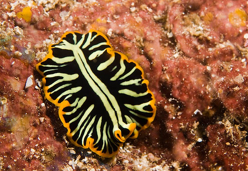 divided-flatworm