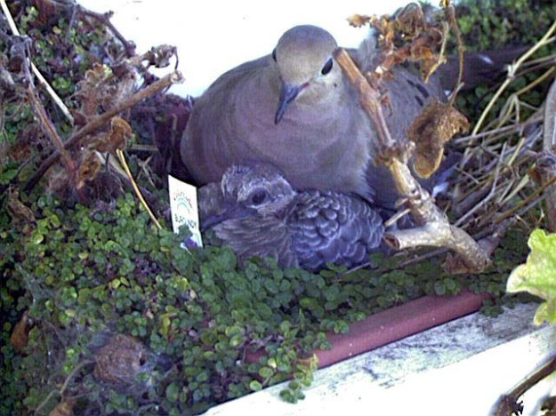 dove with chicks in nest