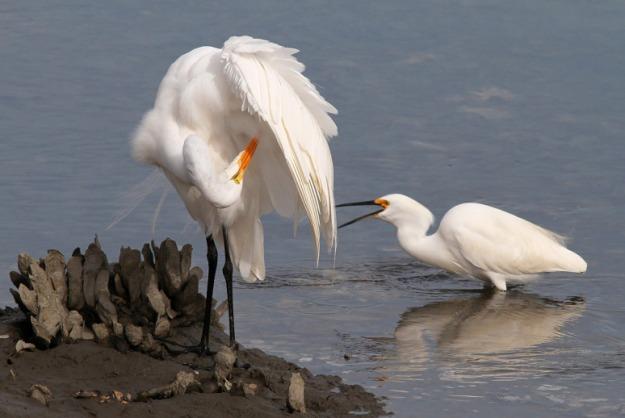 egret-pokes-snowy