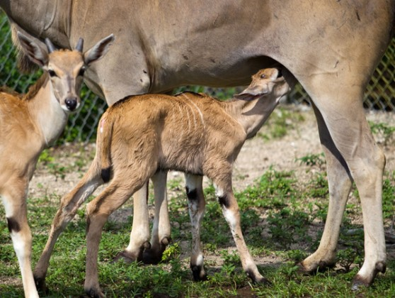 eland fawn nursing