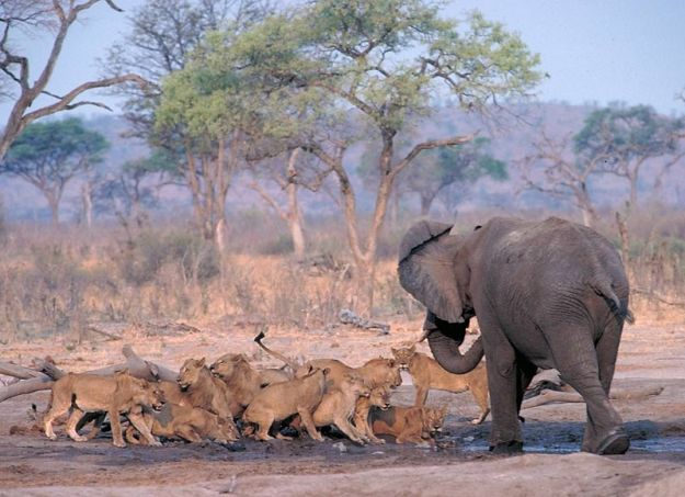 elephant-bluffing-lions