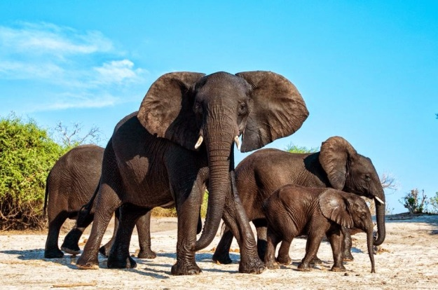 Elephants after a swim in the Chobe River, Botswana by Nicky Classen Photography