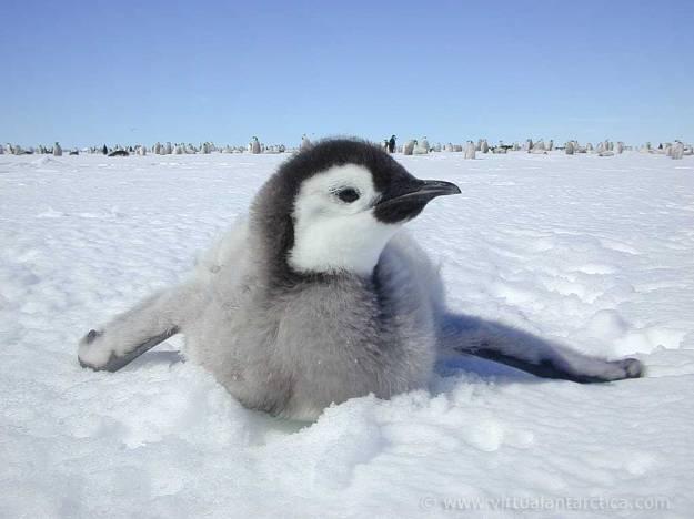 Emperor_Penguin_cild