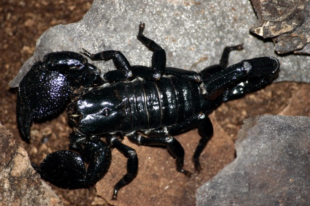 Emporer_scorpion