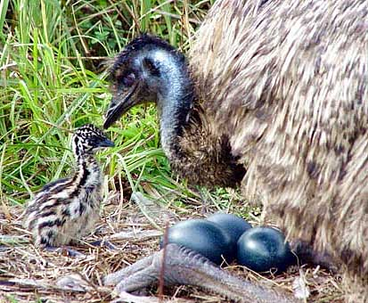 emu-chick-and-eggs