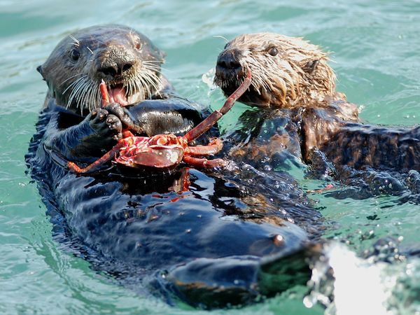 endangered01-sea-otter_24051_600x450