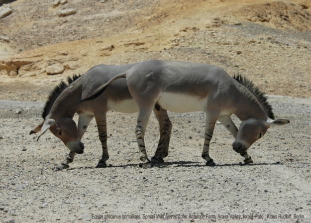 equus-africanus-somalicus-99tn