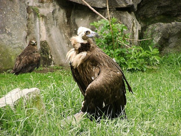 Eurasian_black_vulture_in_zoo_tierpark_friedrichsfelde_berlin_germany