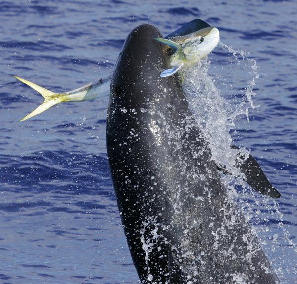 false killer whale Hawai with prey