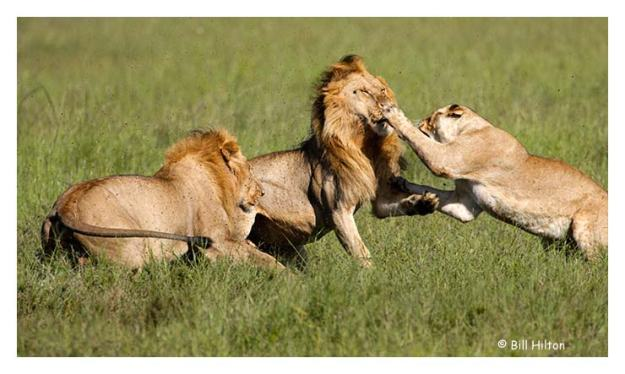 female lion attacking male lion