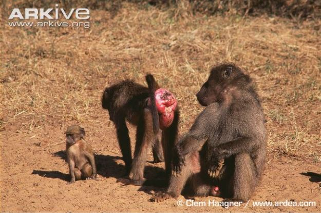 Female-southern-chacma-baboon-in-oestrus-presenting-to-male