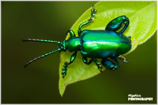 flea_beetle_mysticz