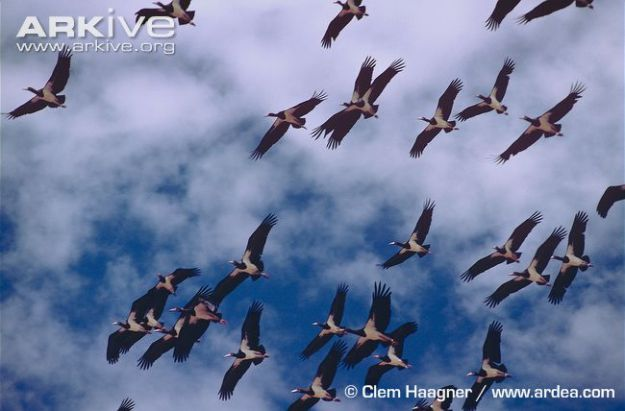 Flock-of-Abdims-stork-in-flight