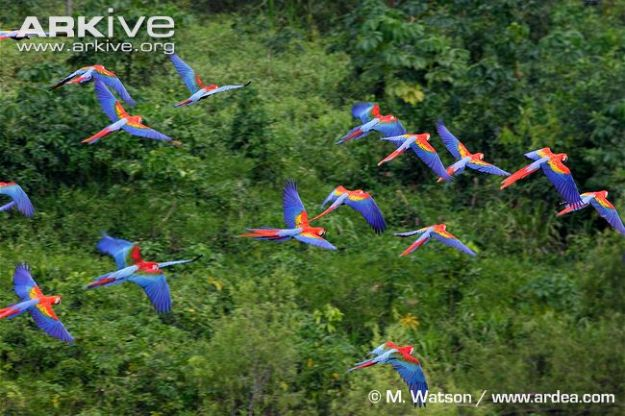 Flock-of-scarlet-macaws-in-flight-with-red-and-green-macaws