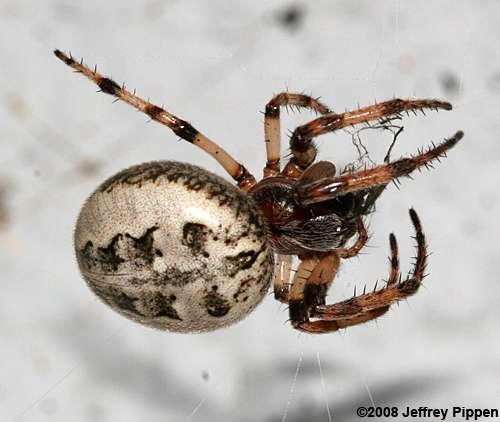 foliate-spider080530-4470hyco.lakez