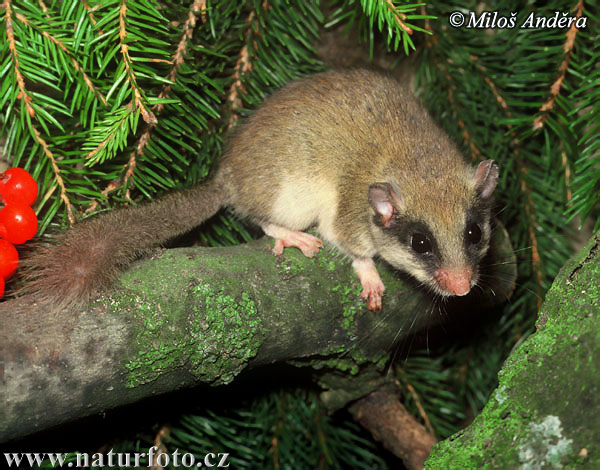 forest-dormouse-3787