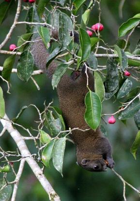 fruiting ficus thailand