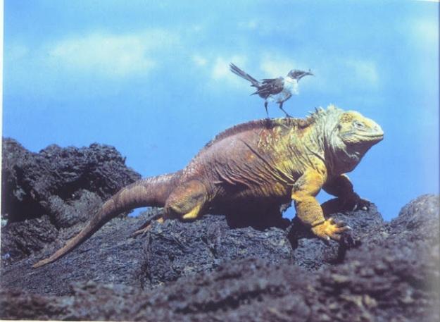 galapagos land iguana-1