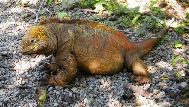 galapagos land iguana-6