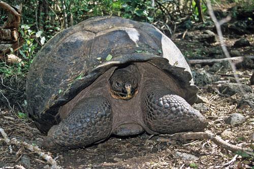 Galapagos-Tortoise-in-Wild