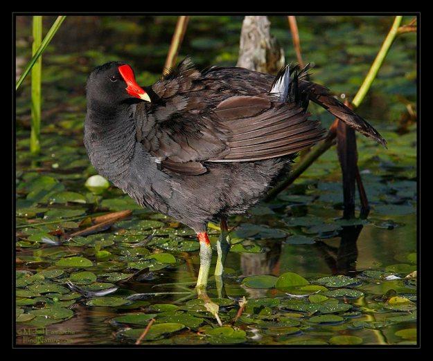 gallinule-poule-eau-21