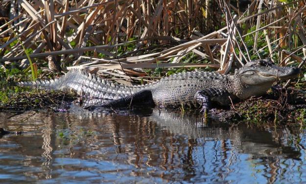gators-in-the-swamp-05