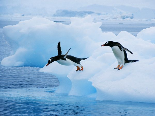 gentoo-penguins-jumping-in-water_24700_600x450