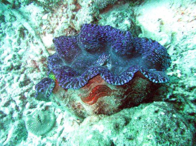 Giant Clam - Blue Horizontal