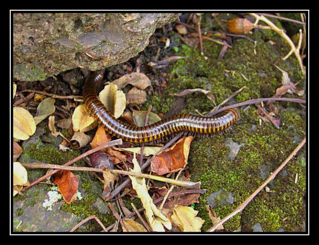 giant_centipede