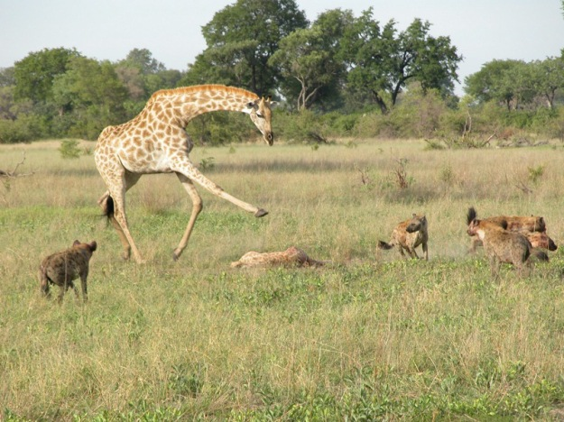 giraffe_defend