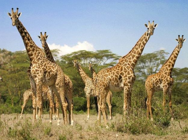 Giraffe_Herd_In_Kenya_600