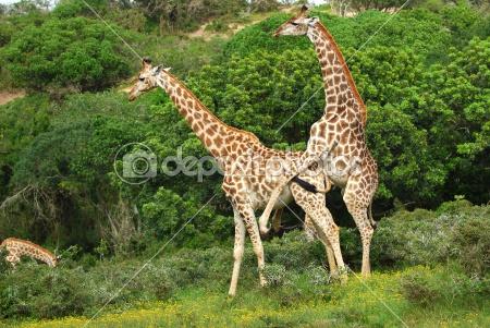 Giraffes-mating
