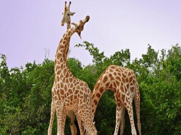 giraffes_nov08_631.jpg__800x600_q85_crop
