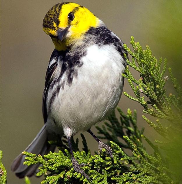 golden cheeked warbler1