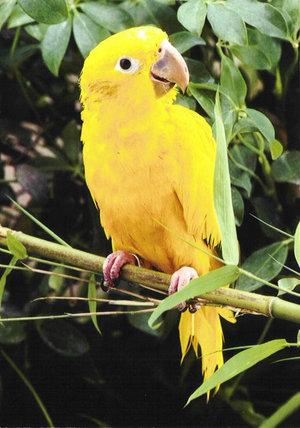 golden-conure-profile