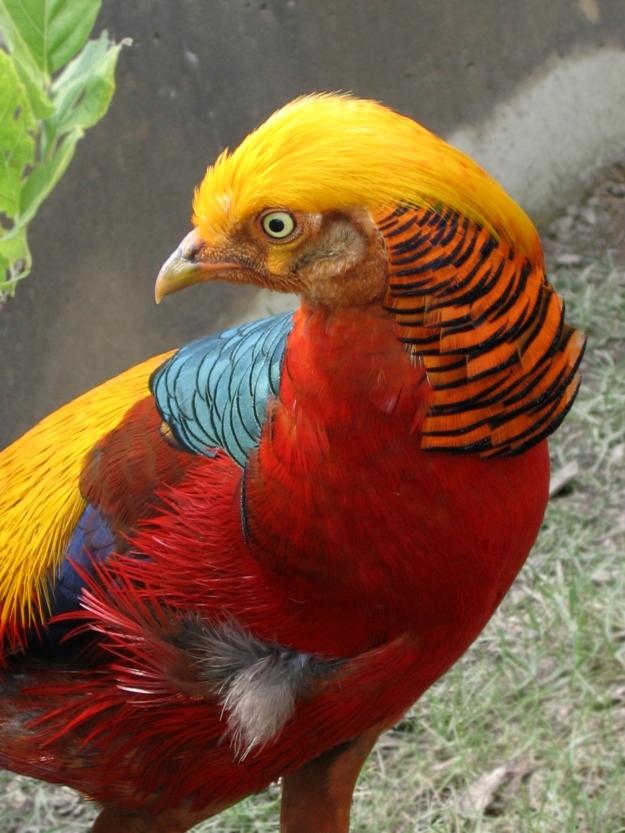 Golden_Pheasant_09